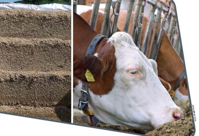 Neuerscheinung: Rinderfütterung bei Trockenheit - Maissilagereiche Rationen